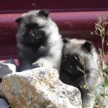 Породные щенки вольфшпица (кеесхонда), Якутск